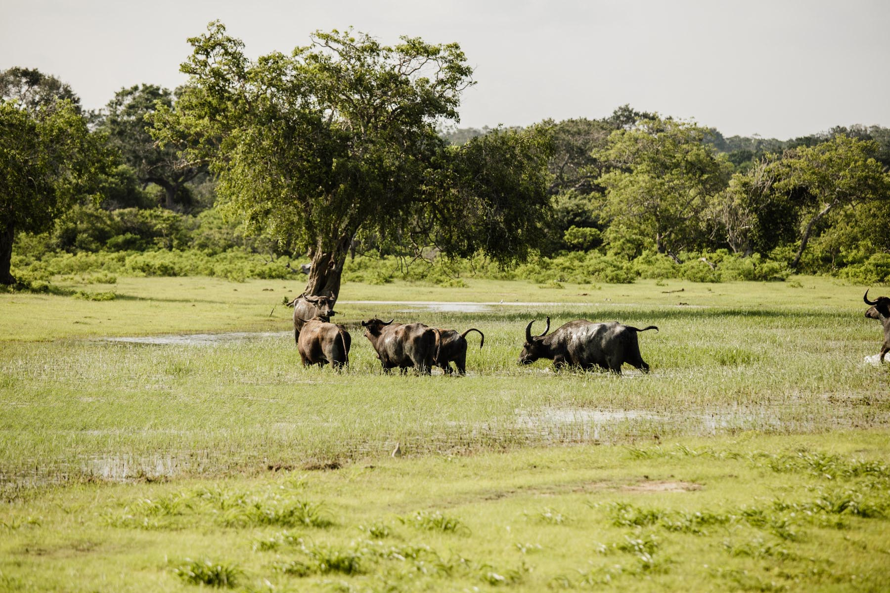thaulle-resort-sri-lanka-activites-yala-national-buffalos