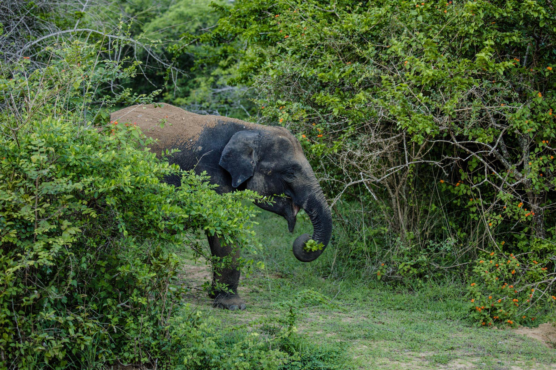 thaulle-resort-sri-lanka-activites-yala-national-elephant