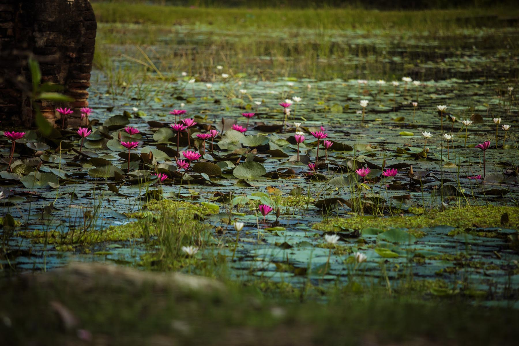 thaulle-resort-sri-lanka-activites-yoda-lake-flower